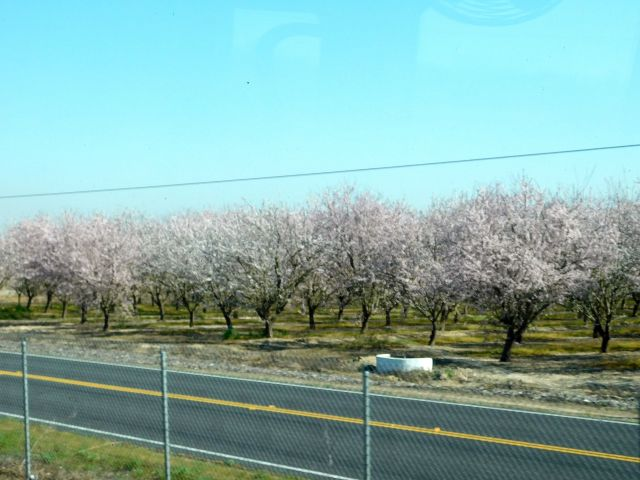 2020-2-27d Almond Blossoms