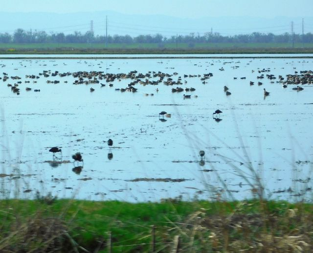 2020-2-27e migratory birds luvin' the rice paddies