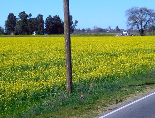 2020-2-27h field of mustard