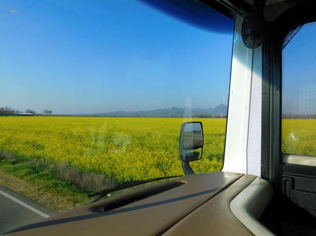 2020-2-29a wild mustard