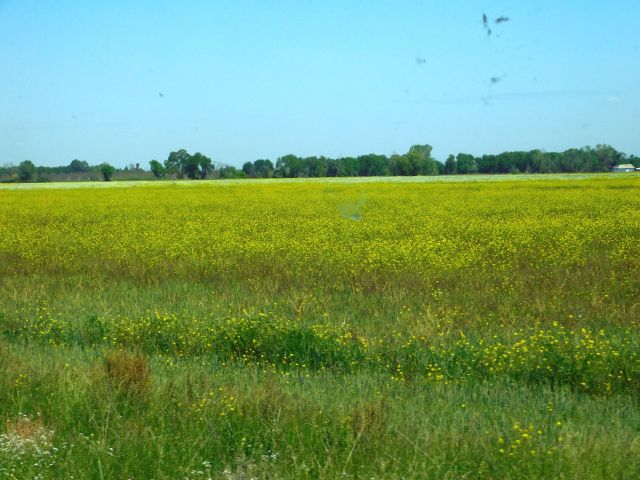 2020-4-16f wild mustard