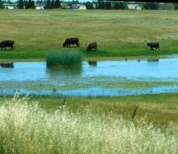 The grass is just beginning to turn brown. In another month or two, those critters will be standing belly-deep in the water to stay cool.