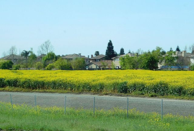 2020-4-3j showy mustard