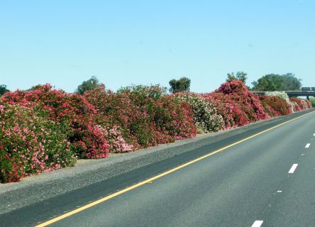 Brilliant Oleanders along I-5.