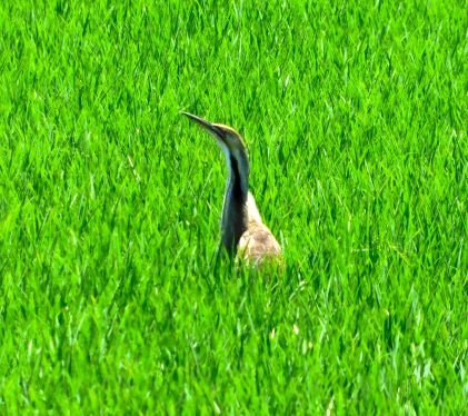 The American Bittern that was apparently nesting in the rice.
