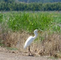 This Snowy Egret was also a nearby neighbor as I parked near the rice paddy.