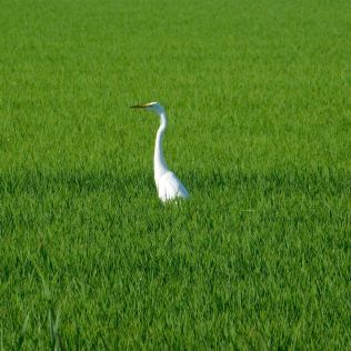 This snowy egret was apparently having breakfast in the nearby rice paddy. They are such regal looking birds.