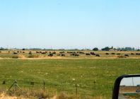A herd of Black Angus along I-5.