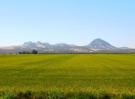 Rice grows under the gaze of the Sutter Buttes, the planet's smallest mountain range.