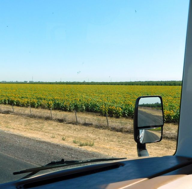 2020-8-13b Sunflowers along I-5