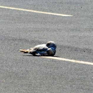 Seagulls were seemingly happy to rest right on the pavement. I suspect the warmth felt pretty good in the cool climate.