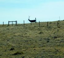 The always present tin elk that some rancher erected for the entertainment of I-80 travelers.