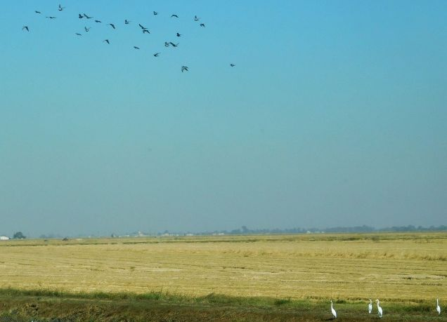 A pretty cool photo of flying waterfowl far above a harvested paddy with snowy egrets on the ground.