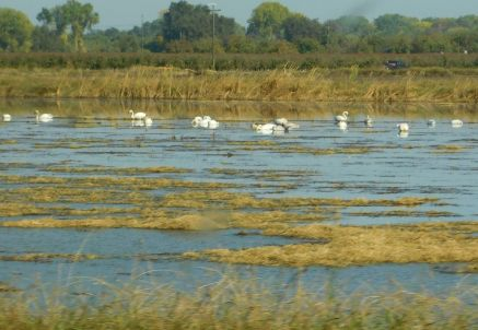 I believe these are swans enjoying a flooding rice paddy.