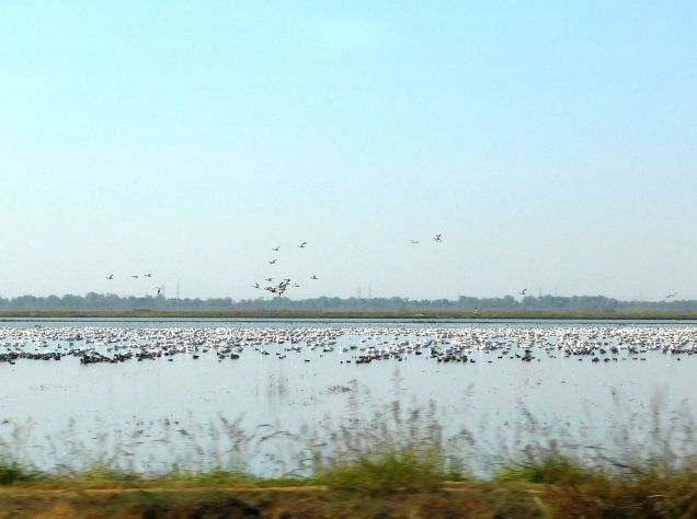 ...and more waterfowl on a flooded paddy.