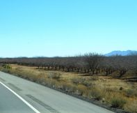 An orchard in the desert? Yep - here's one.