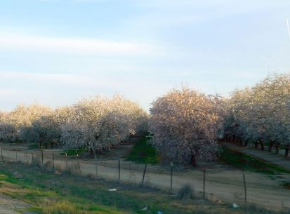 It's almond blossom time!